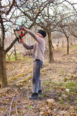 Using a gas chainsaw for trimming apple trees